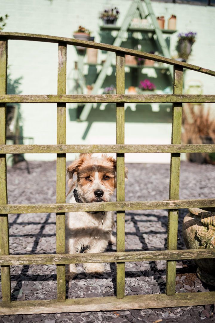 Small dog looking through wooden fence